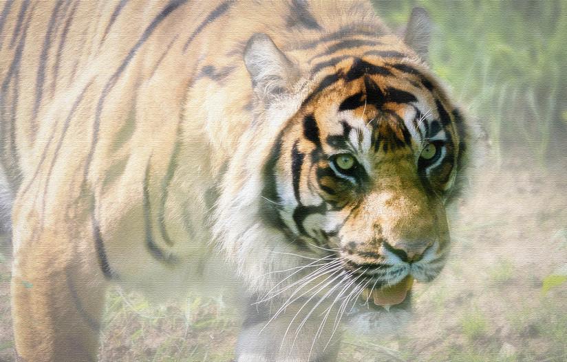 COLOUR - Eye of the Tiger - Survivor by Vittorio Silvestri (8 marks)
