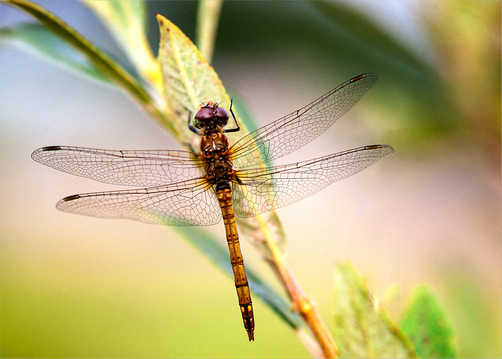 COLOUR - Common Darter by Martin Spackman (11 marks)