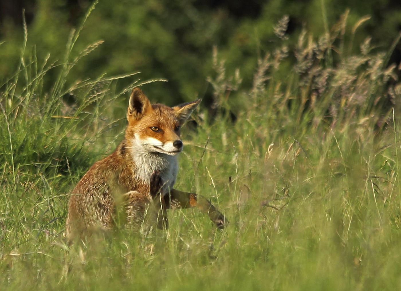 Fox Scratch Vulpes Vulpes