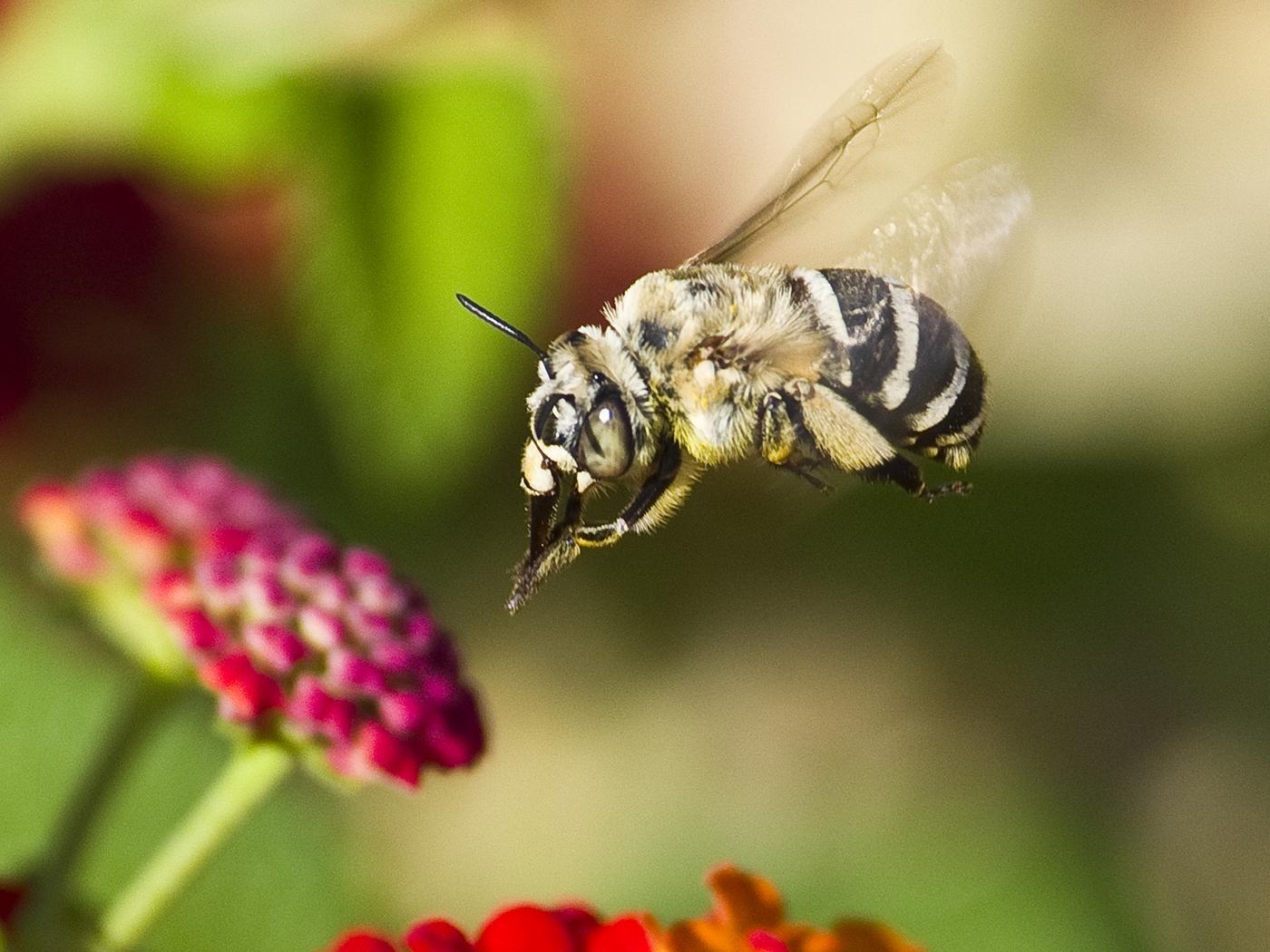 Africanised bee at lantana camera