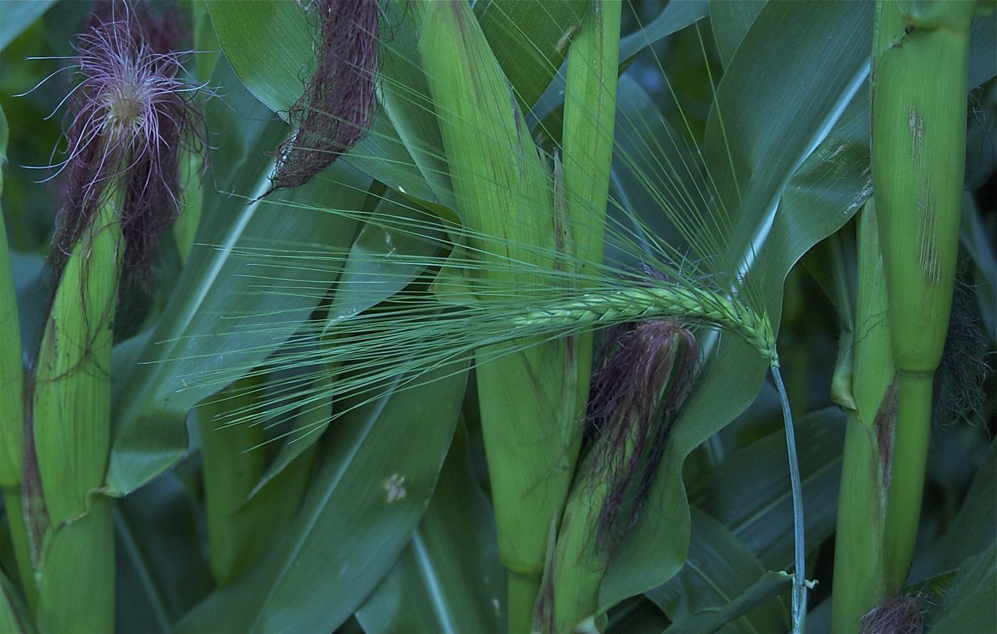 144 Dopk_Maize and Barley.jpg