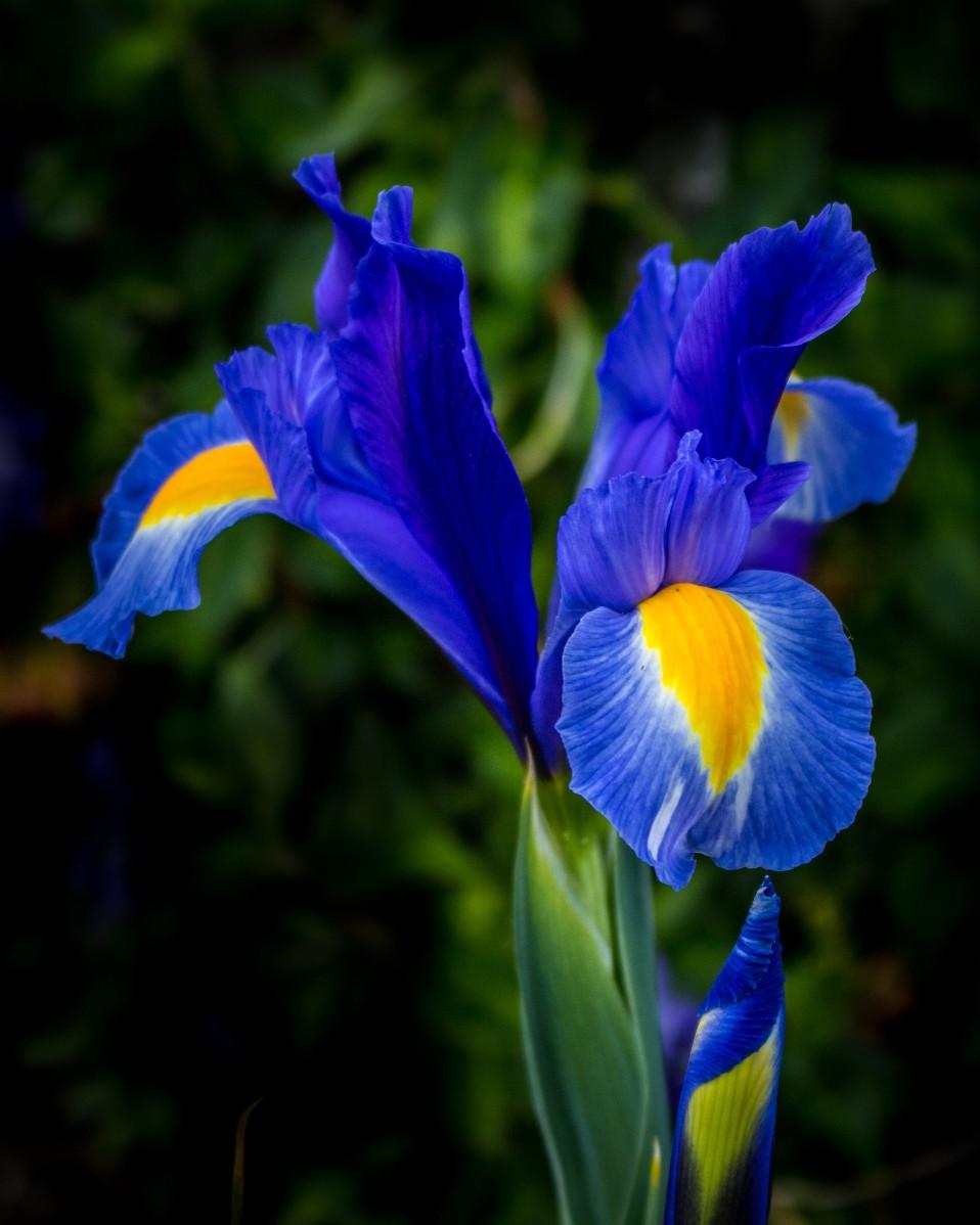 PDI - Iris by Joan Kennedy (7 marks)