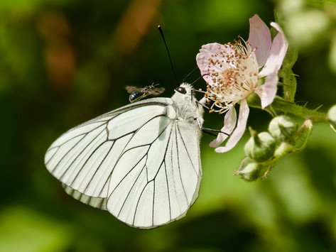 18 - IPF - Black veined white by Bill Cullen ( 29 marks )