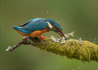 PDI -  Highly Commended - Kingfisher and Minnow by Ross McKelvey