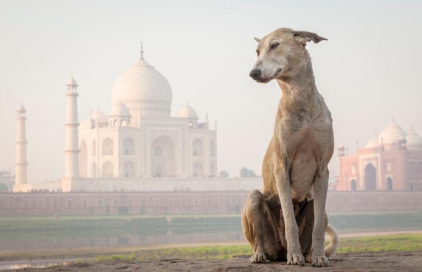 COLOUR - Taj Mahal Dog by Tony McDonnell (17 marks)