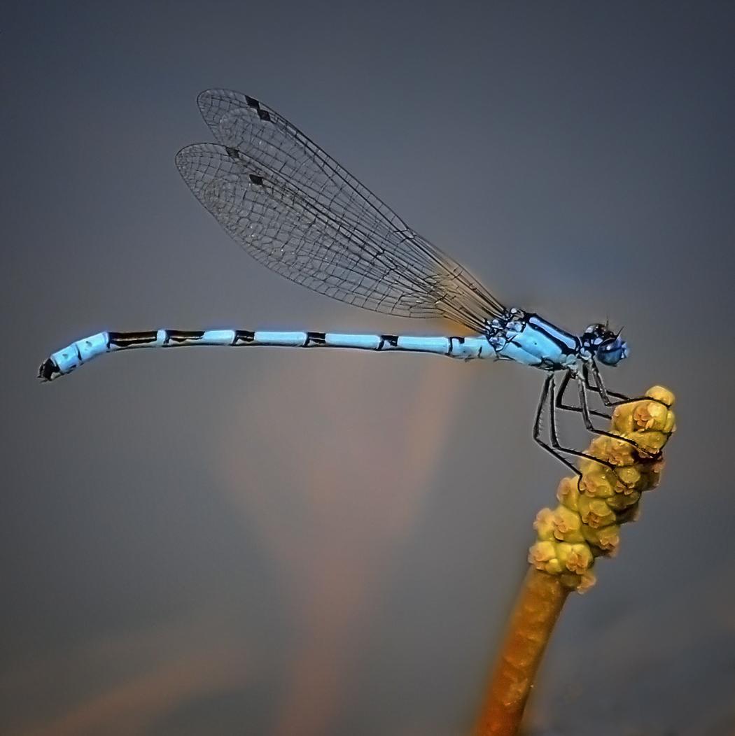 Damsel Fly Eileen McCausland,DUCK.jpg