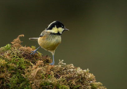 PRINT -  Highly Commended - Coal Tit by Ross McKelvey