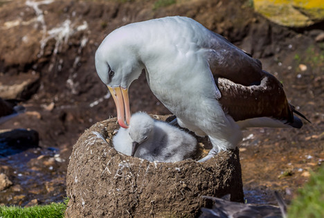 3 - IPF - Albatross with chick by Peter McManamin ( 32 marks )