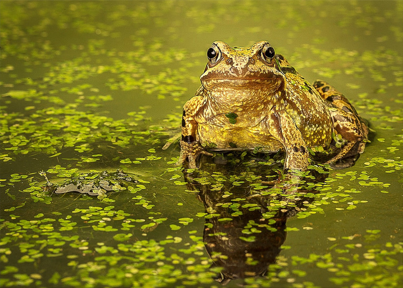 PDI - Common Frog by Linda Bell (14 marks)