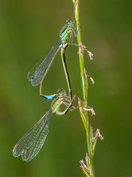 """Mating Blue-tails"" by Ted McKee"