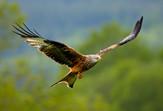 PDI - Red Kite by Joe Beattie (12 marks)