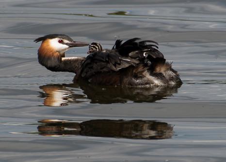 9 - NIPA - Baby grebe and mother by Lynn Hughes ( 23 marks )