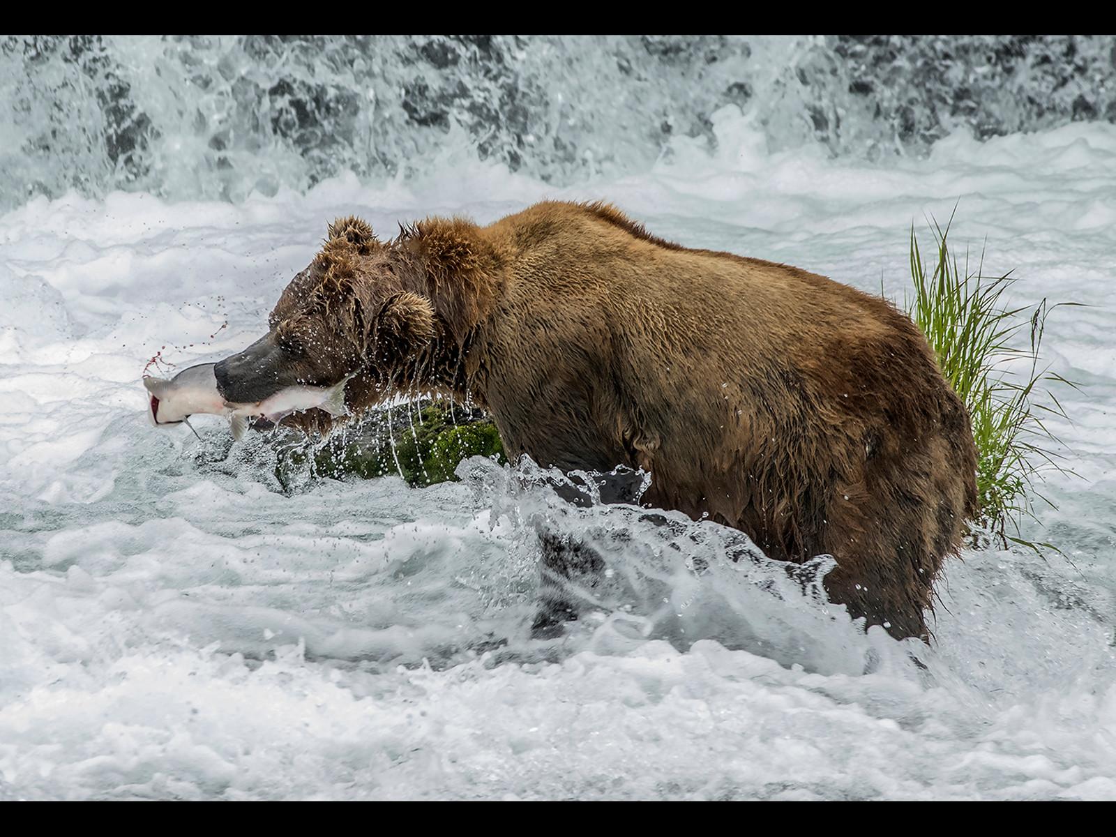 PDI - Bear with Salmon by Chris Blyth (17 marks)