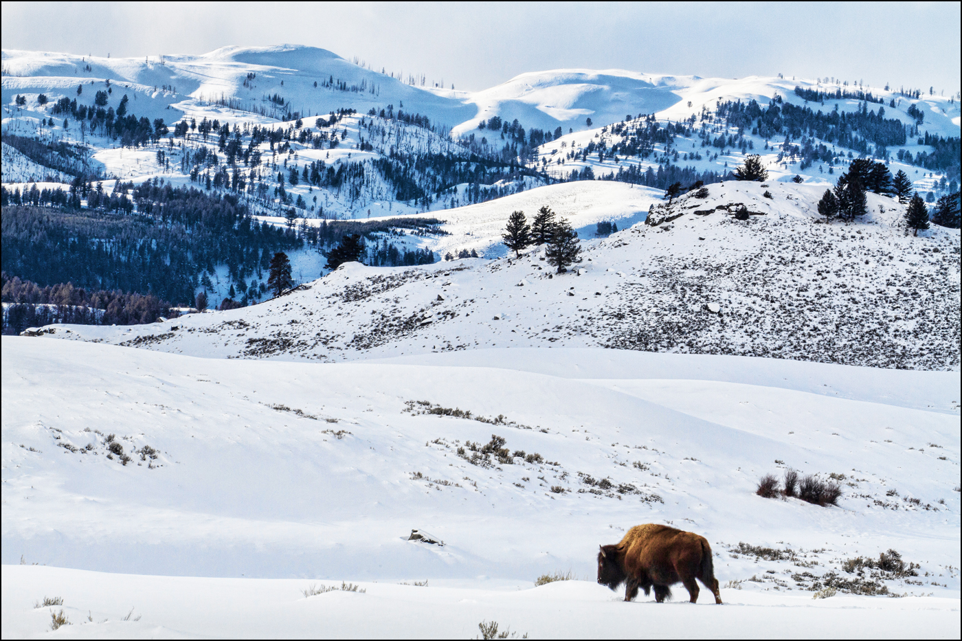 Lone Bison, Yellowstone