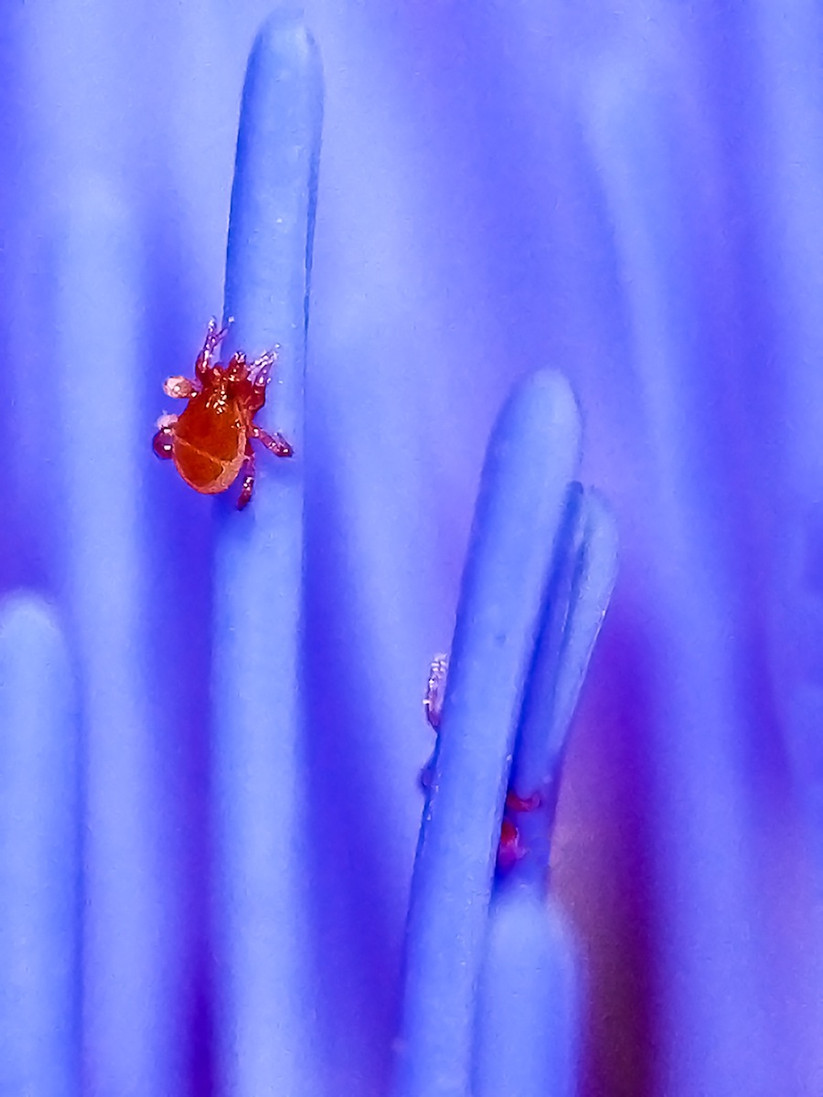 PDI - Red Spider Mites In Artichoke Flower by Danny McCaughan (7 marks)