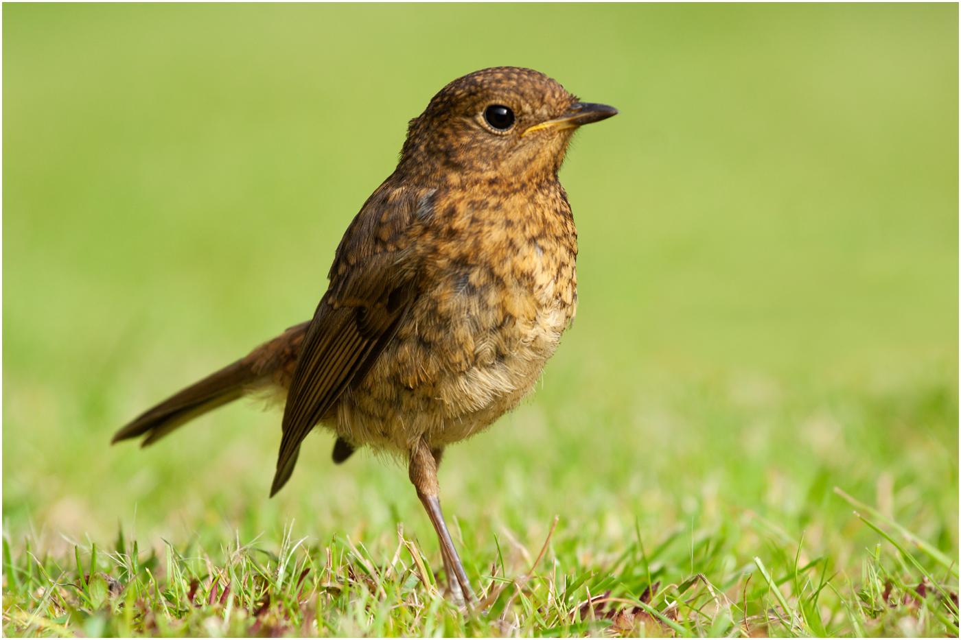 135 Young Robin.jpg