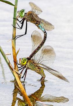 4 - NIPA - Anax mating pair by Daniel McCaughan ( 24 marks )