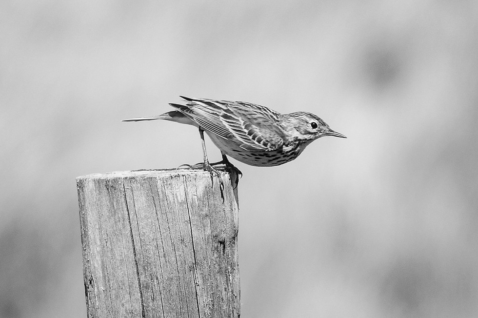 MONO - Pipit by Eamon Coyle (8 marks)