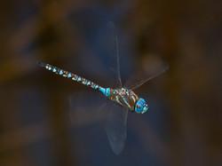 NIPA_14_R5PDI-C-61 -Dragonfly in flight.jpg
