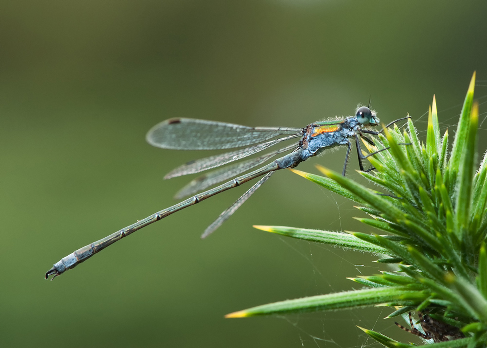 NIPA_14_R5PDI-C-85 - Common Spreadwing.jpg