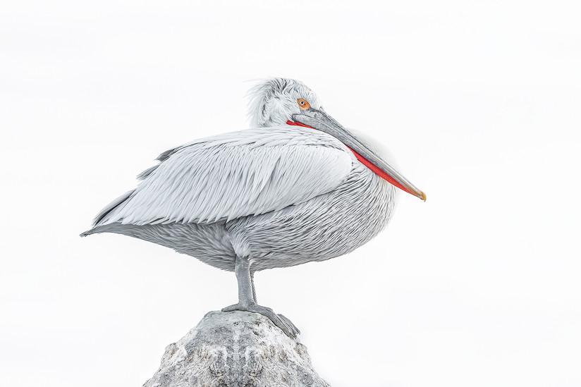 COLOUR - Pelican by Pamela Wilson (13 marks)