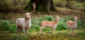 PDI -  Commended - White Deer and fawns by Robert Sergeant