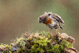 PDI - Robin shaking off Rain by Hugh Wilkinson