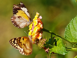 154 Botswana butterflies.jpg.jpg.jpg