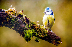 Blue tit on branch-Terry Hanna-Commended.jpg