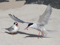 Tern Feeding Chick