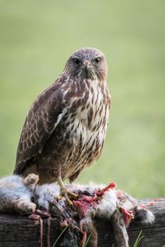 31 - NIPA - Buzzard with prey by Philip Blair ( 28 marks )