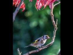 050 Autumn Goldfinch.jpg