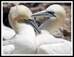087 Gannets courting.jpg