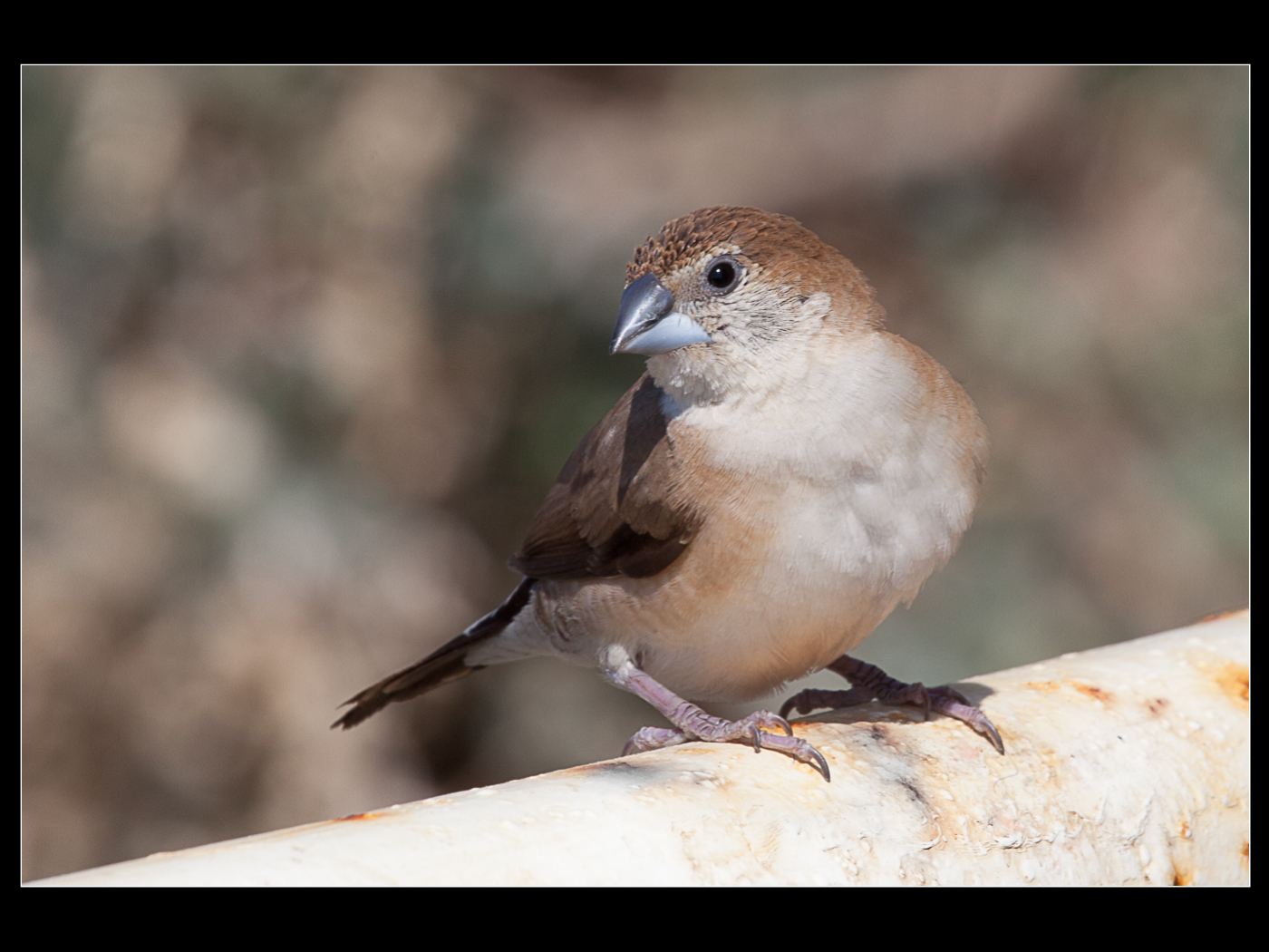 015 Young sparrow in Nice.jpg