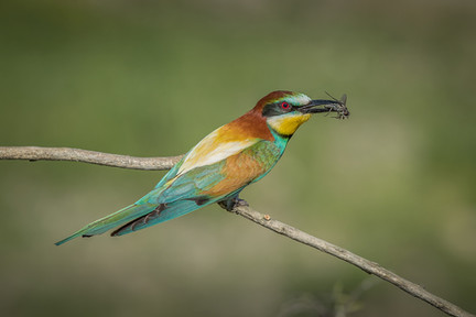 PDI -  Commended - Bee Eater by Pamela Wilson