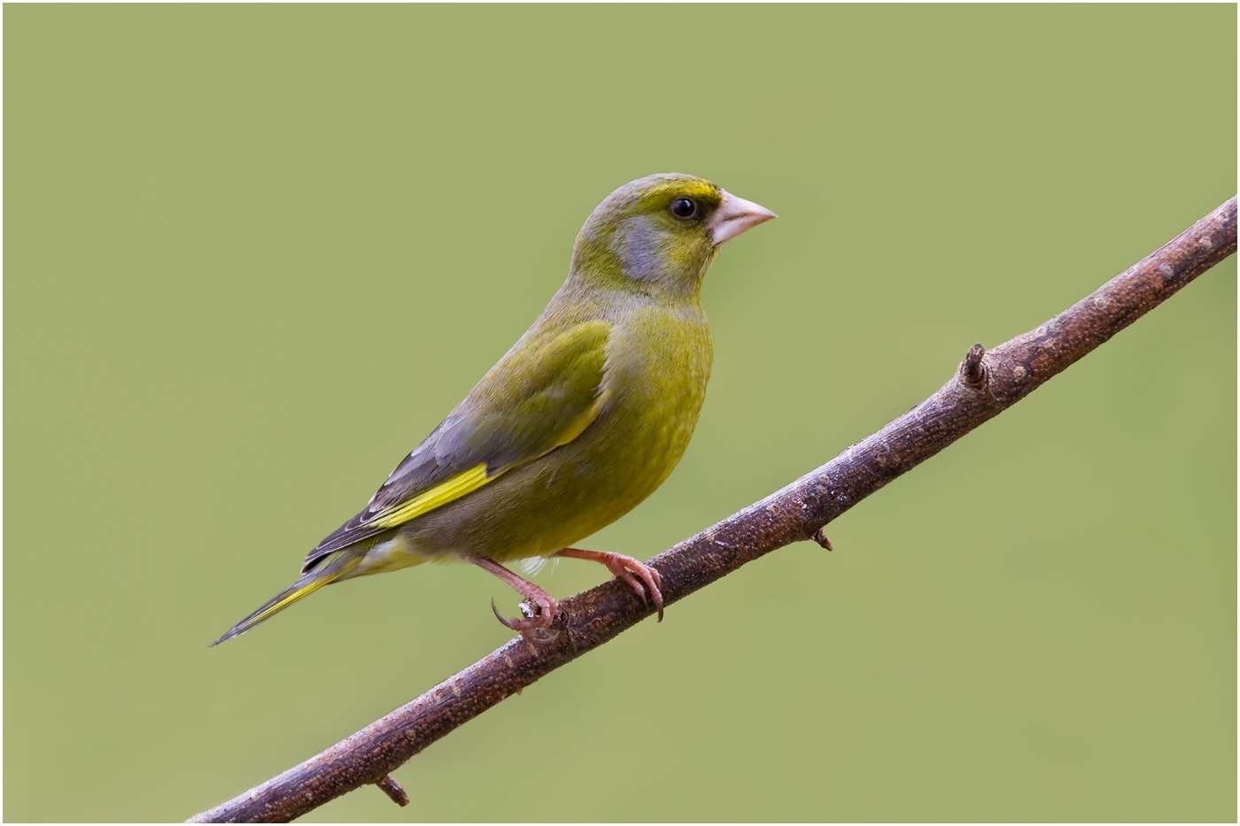 132 Greenfinch.jpg