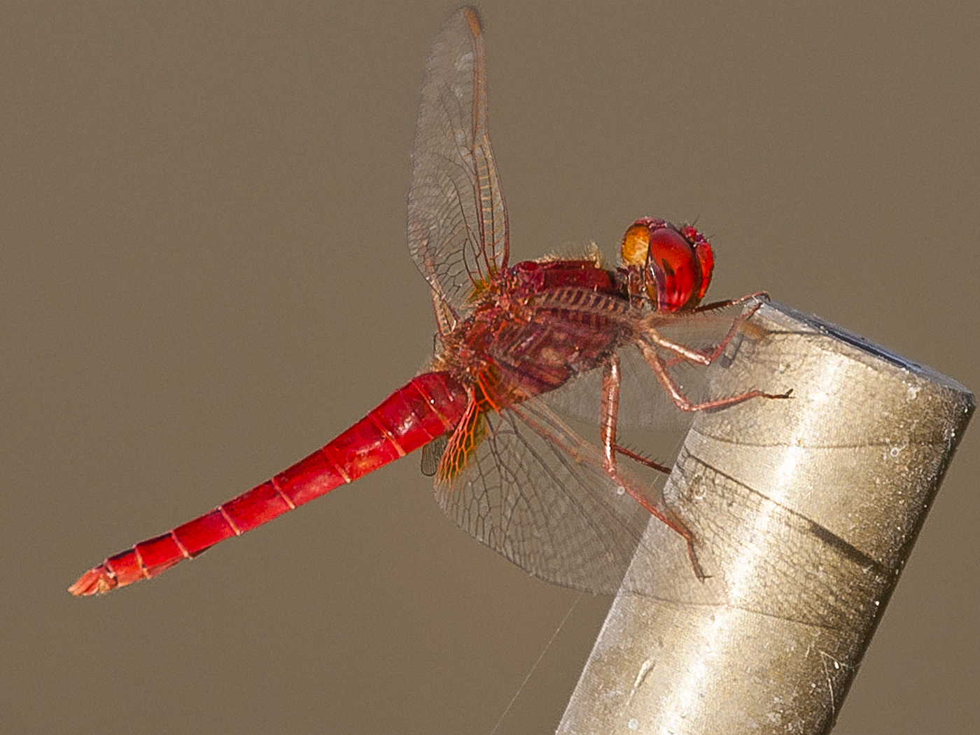 093 Red Dragon Fly2.jpg