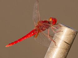 093 Red Dragon Fly2.jpg