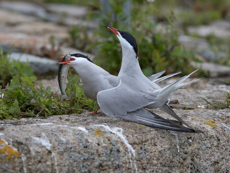 49 - IPF - Common Terns by Kevin Maguire ( 27 marks )