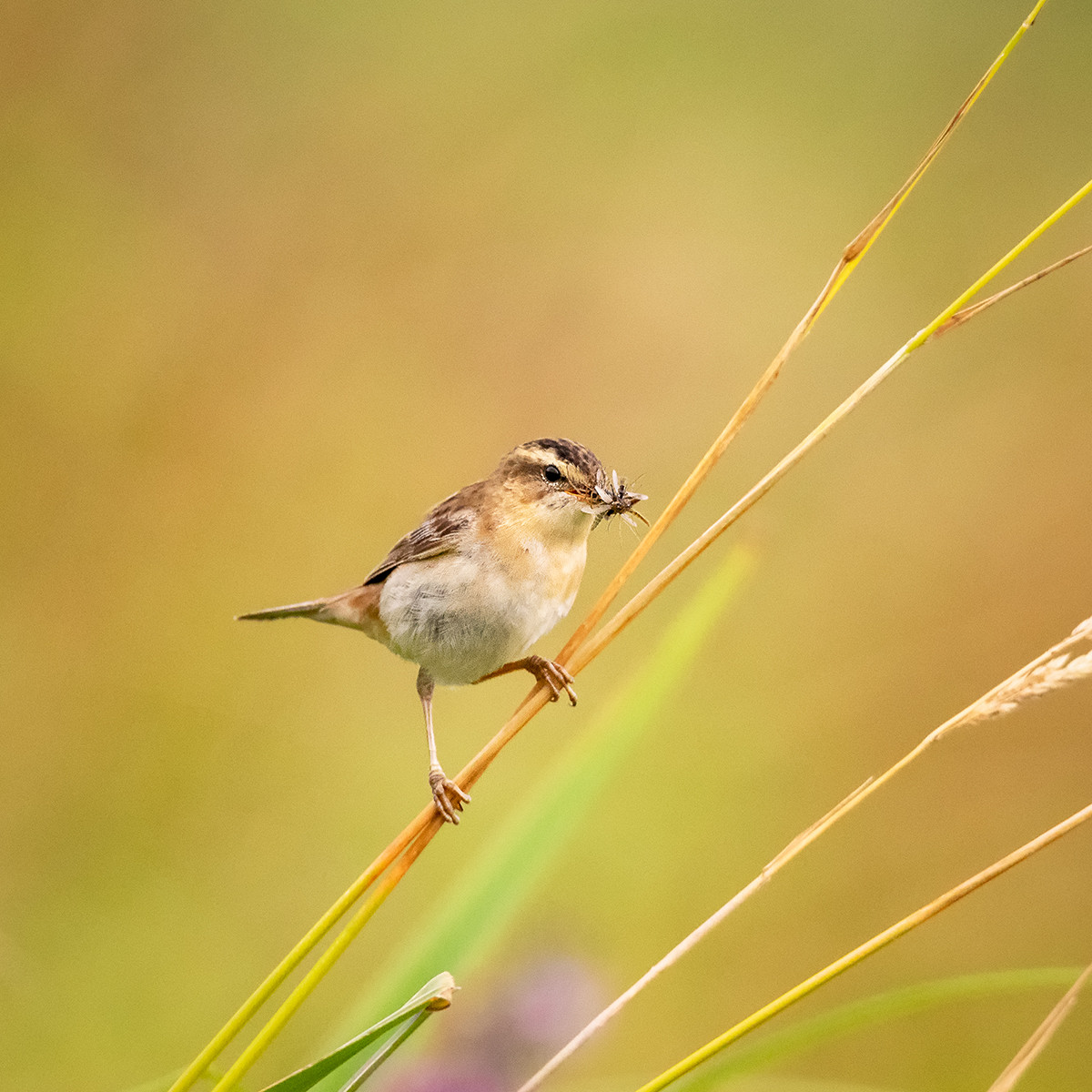 COLOUR - Sedge Warbler by Lionel Mitchell (10.5 marks)