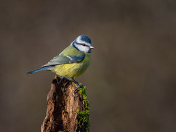 PDI - Blue Tit by Ted McKee