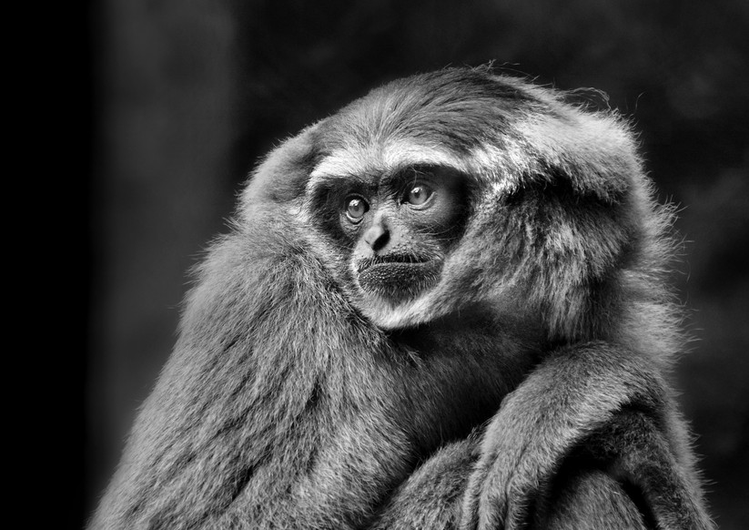 MONO - Gibbon by Fiona Beattie (8 marks)