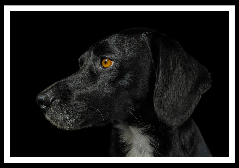 COLOUR - Foster Dog Sam by Conor Davidson (10 marks)