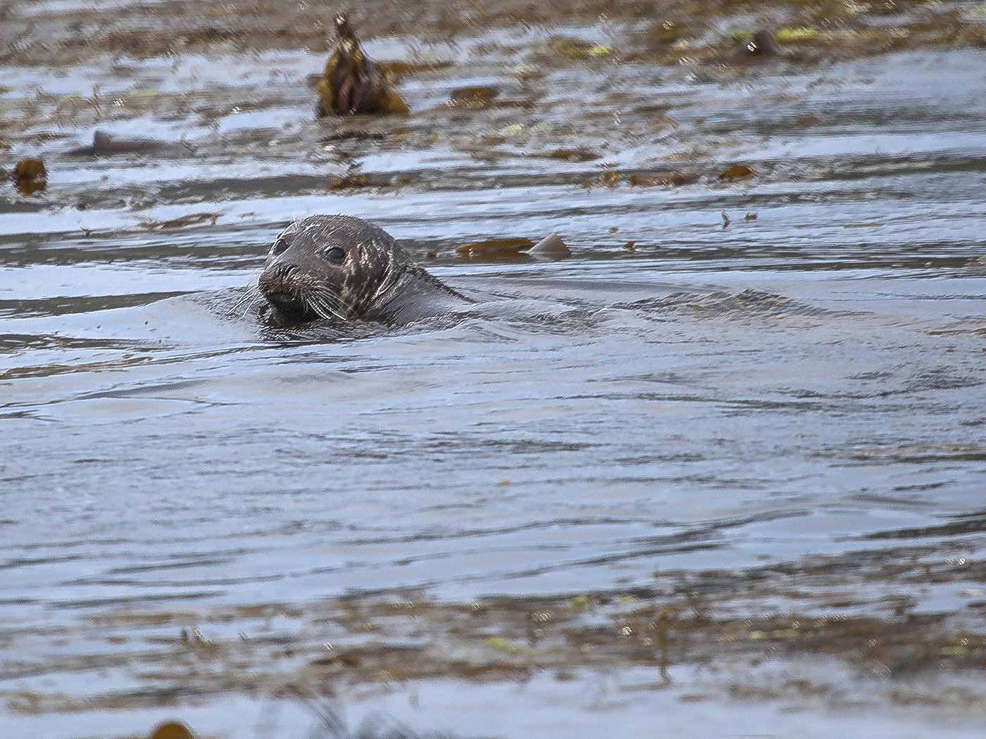091 Rathlin Seal.jpg