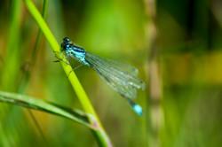 Blue Damsel Flies