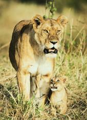 HCom_Lioness and Cub-Brendan Hinds-CBPPU.jpg