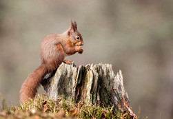 """""""Red Squirrell"""" by Hugh Wilkinson"""
