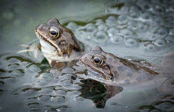 023  FROGS with SPAWN..jpg