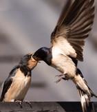PDI - Damian McConville by Swallow Fledgling (9 marks)