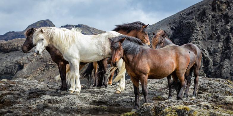 P-NIPA-EX17-PDI-027-Icelandic Horses_DarrenBrown_BNDCC-2.jpg